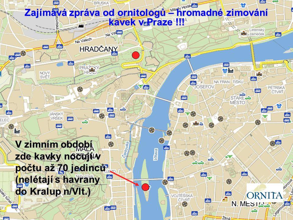 Zajímavá zpráva od ornitologů – hromadné zimování kavek v Praze !!!