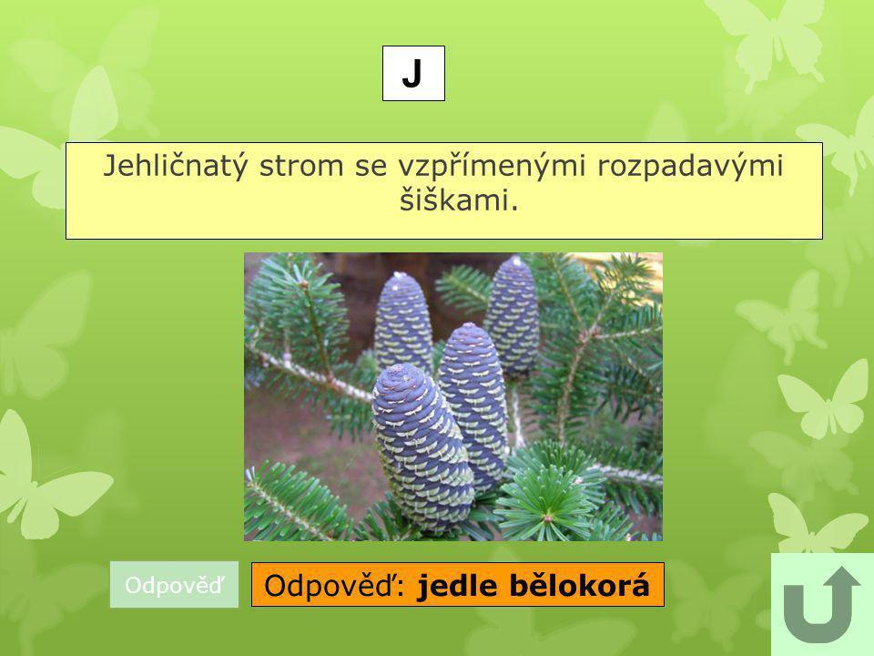 J Jehličnatý strom se vzpřímenými rozpadavými šiškami.