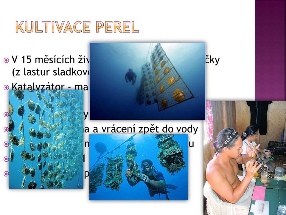 Kultivace perel V 15 měsících života – vpravení 6 mm kuličky (z lastur sladkovodních měkkýšů) Katalyzátor - malý kousek tkáně jiné perlotvorky.