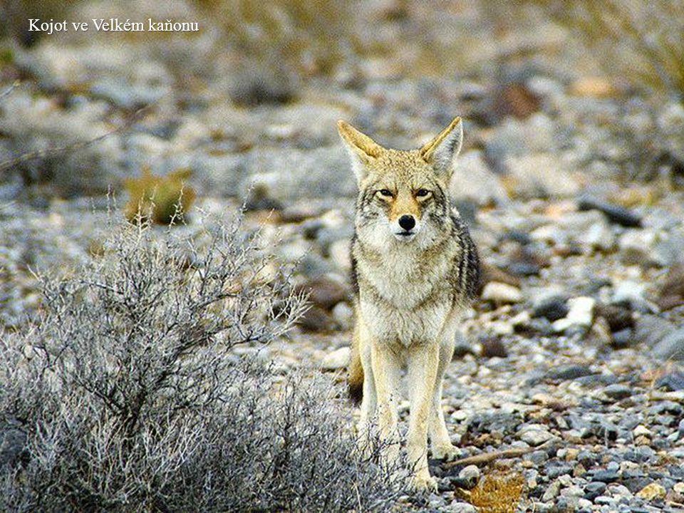 Kojot ve Velkém kaňonu
