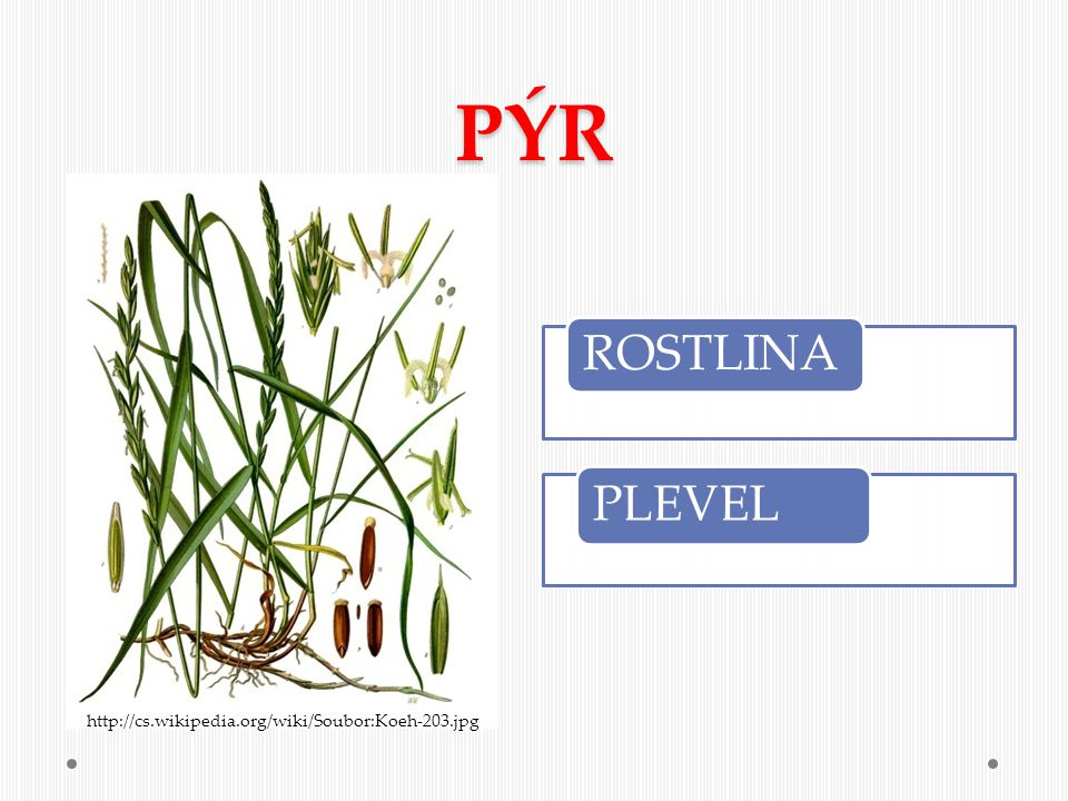 PÝR ROSTLINA PLEVEL http://cs.wikipedia.org/wiki/Soubor:Koeh-203.jpg