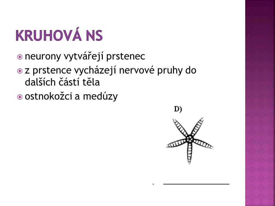 Kruhová NS neurony vytvářejí prstenec