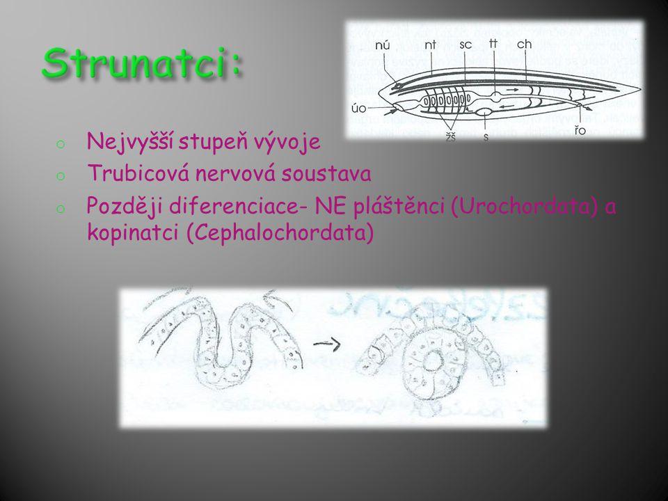 Strunatci: Nejvyšší stupeň vývoje Trubicová nervová soustava