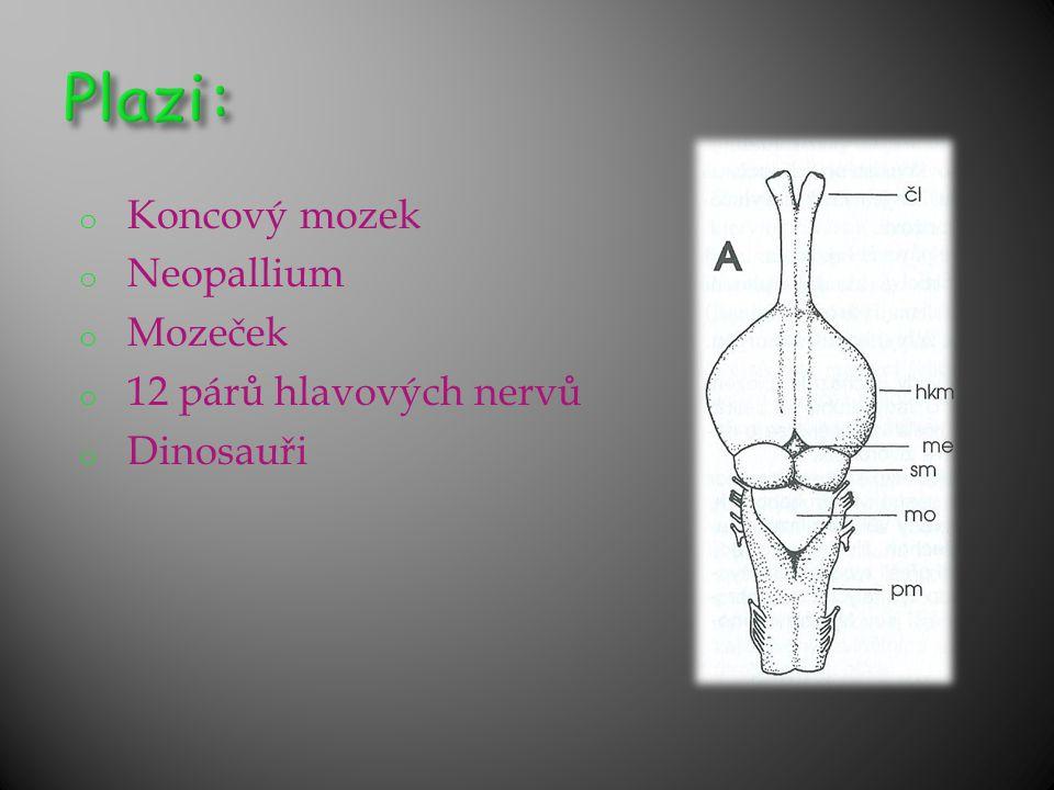 Plazi: Koncový mozek Neopallium Mozeček 12 párů hlavových nervů
