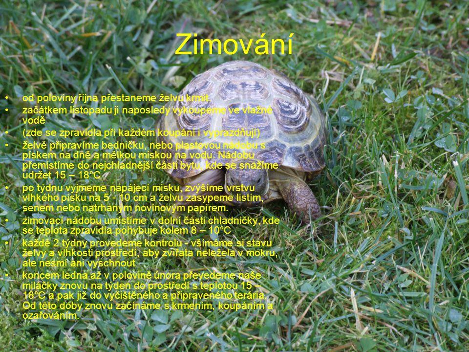 Zimování od poloviny října přestaneme želvu krmit.