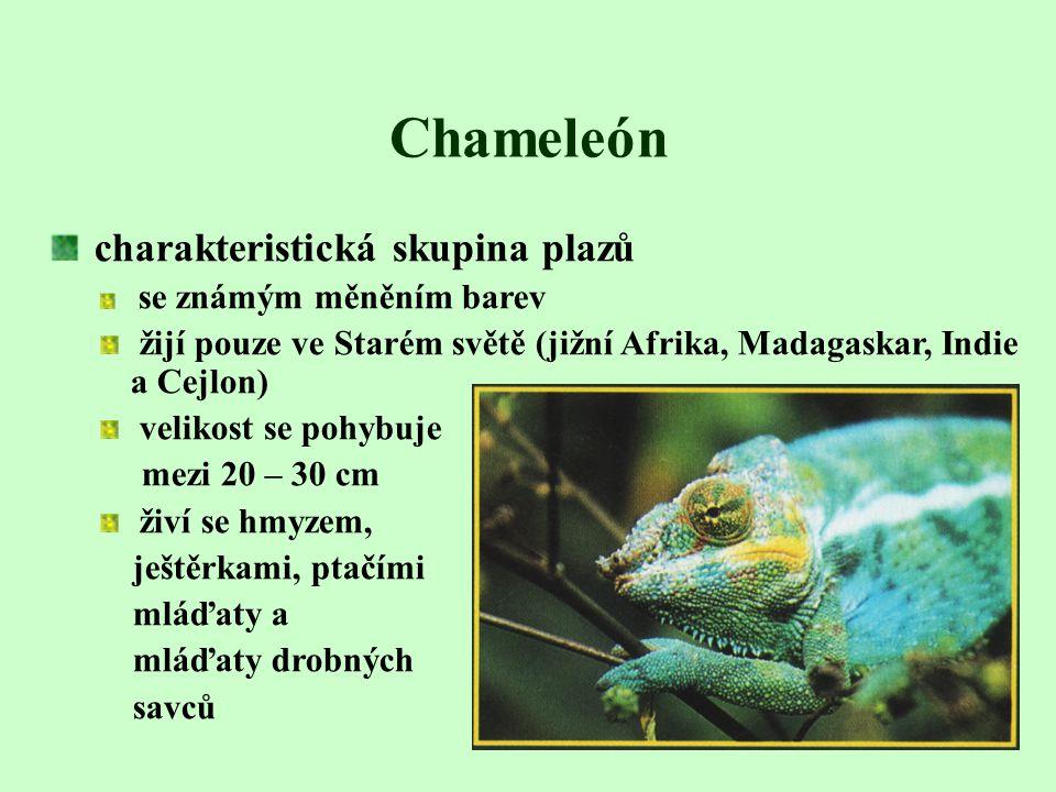 Chameleón charakteristická skupina plazů
