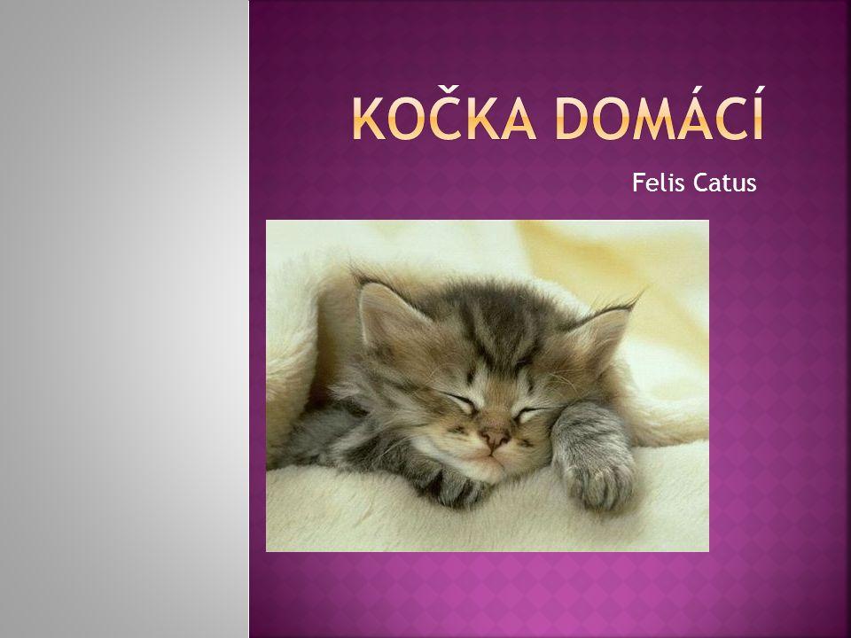 Kočka domácí Felis Catus