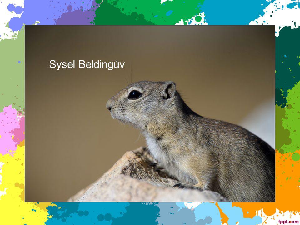 Sysel Beldingův Sysel Beldingův