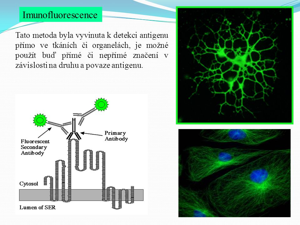 Imunofluorescence