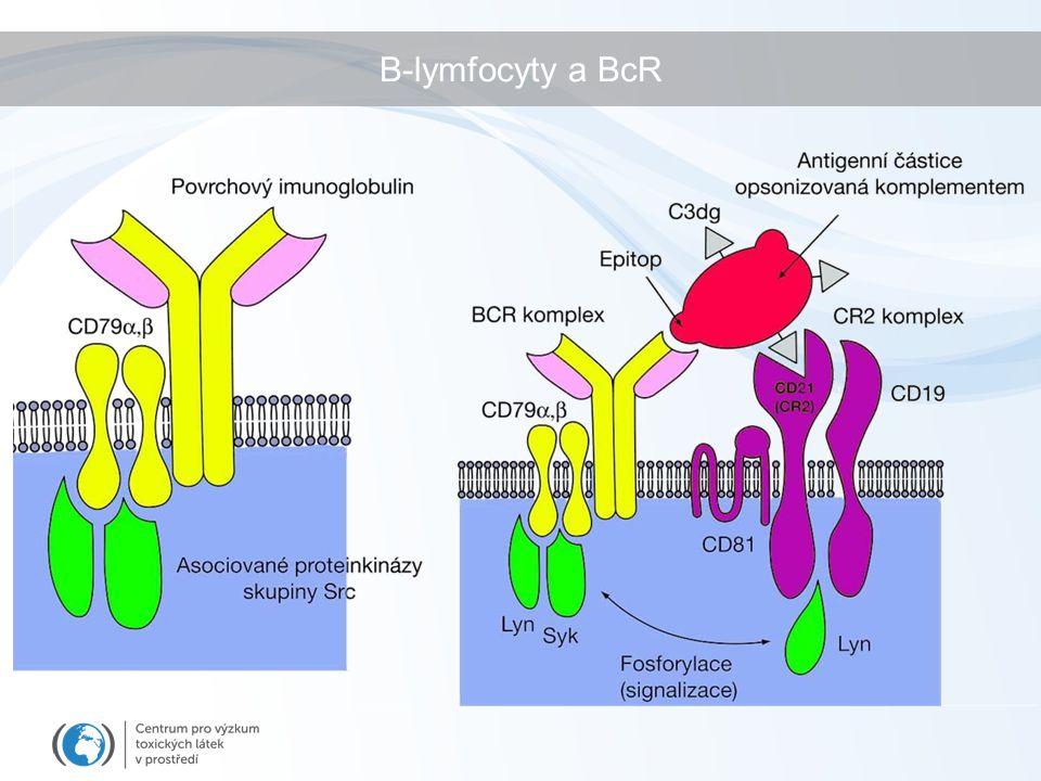 B-lymfocyty a BcR