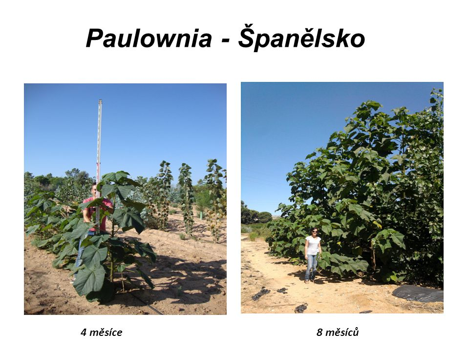 Paulownia - Španělsko 4 měsíce 8 měsíců