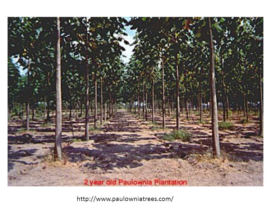 http://www.paulowniatrees.com/