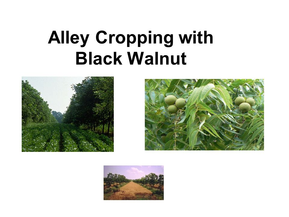 Alley Cropping with Black Walnut