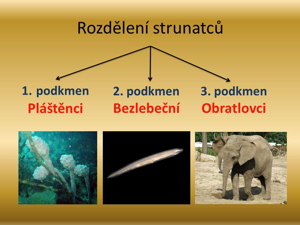 Rozdělení strunatců Pláštěnci Bezlebeční Obratlovci podkmen 2. podkmen