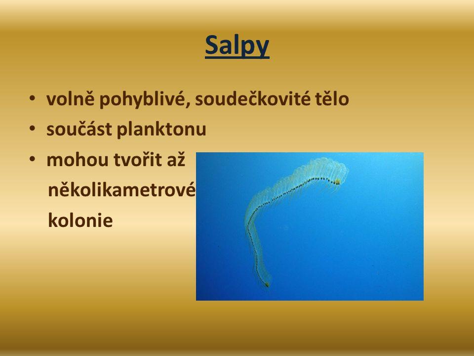 Salpy volně pohyblivé, soudečkovité tělo součást planktonu