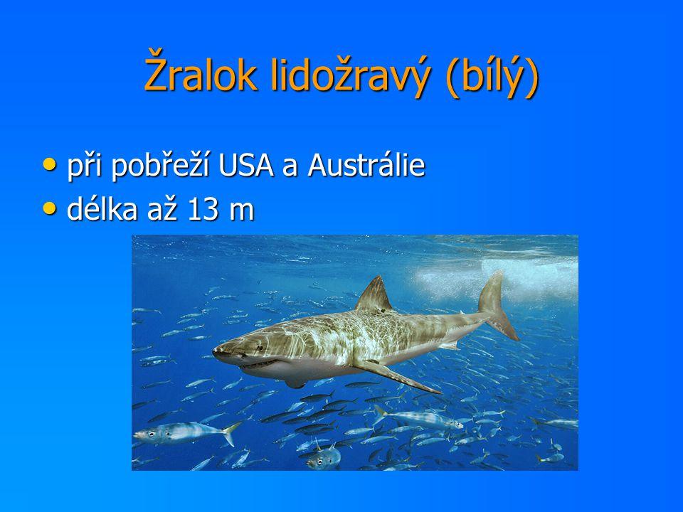 Žralok lidožravý (bílý)