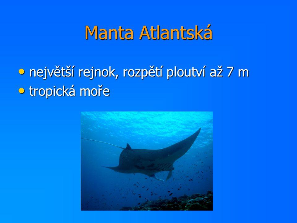 Manta Atlantská největší rejnok, rozpětí ploutví až 7 m tropická moře