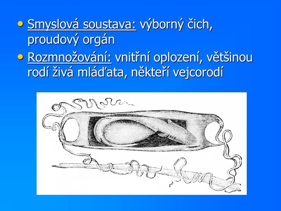 Smyslová soustava: výborný čich, proudový orgán
