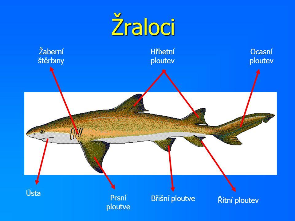 Žraloci Žaberní štěrbiny Hřbetní ploutev Ocasní ploutev Ústa