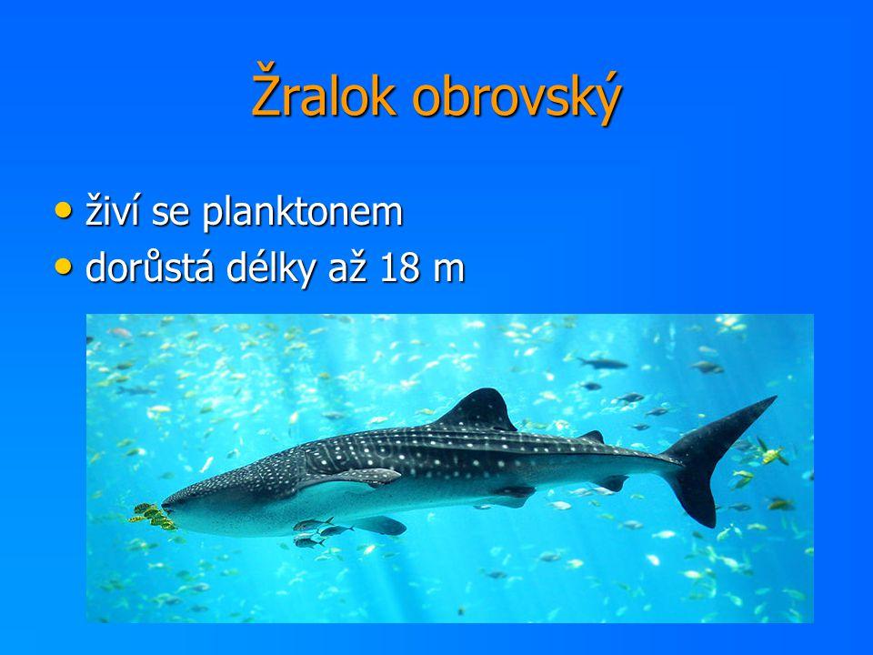 Žralok obrovský živí se planktonem dorůstá délky až 18 m