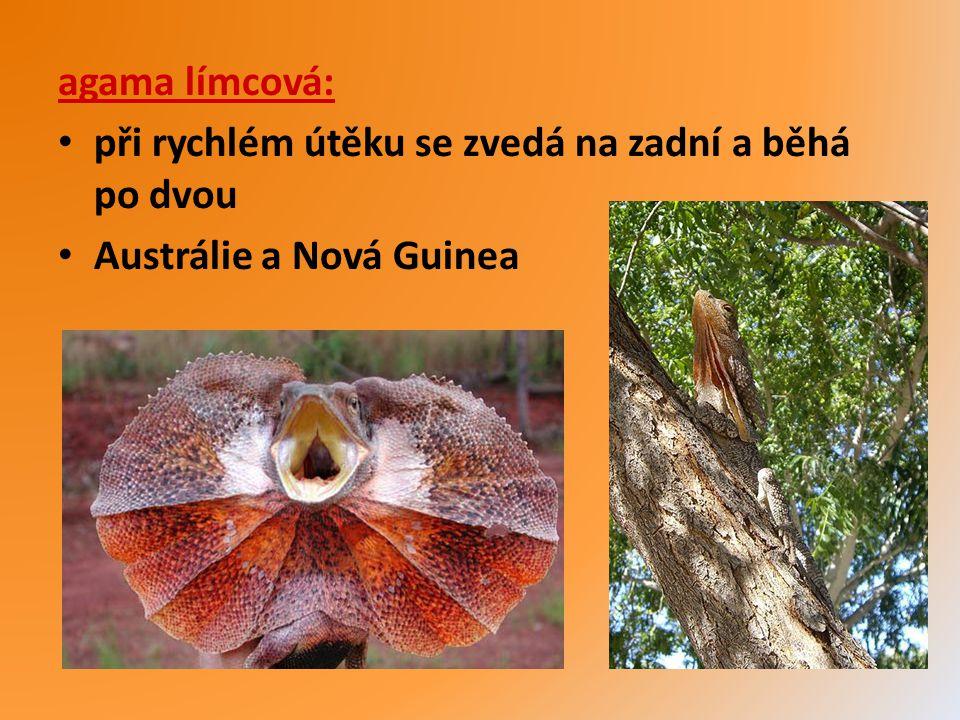 agama límcová: při rychlém útěku se zvedá na zadní a běhá po dvou Austrálie a Nová Guinea