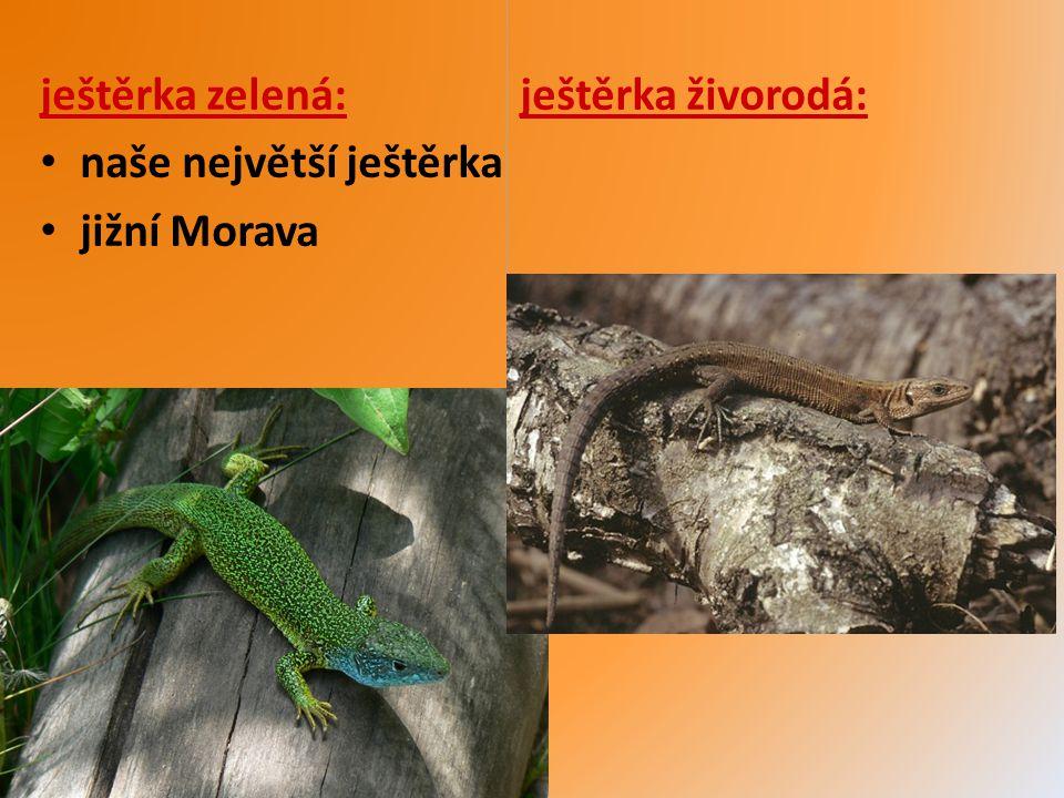 ještěrka zelená: ještěrka živorodá: naše největší ještěrka jižní Morava