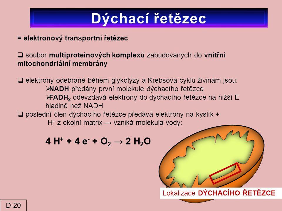 Dýchací řetězec = elektronový transportní řetězec