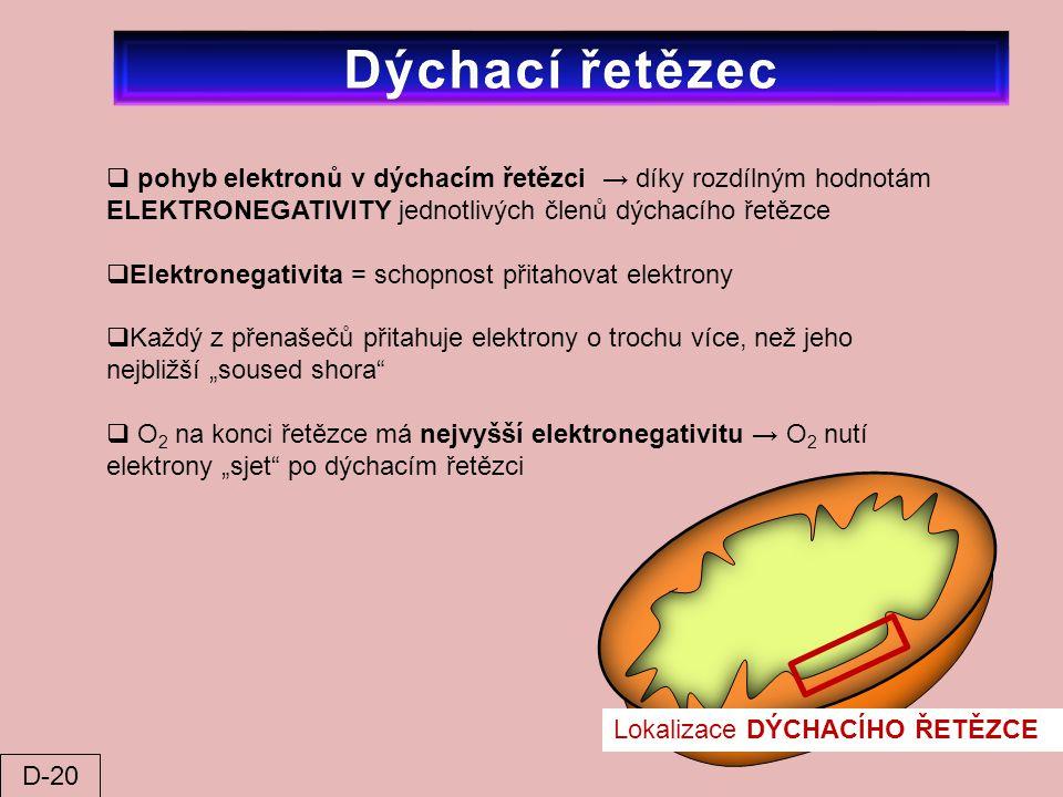 Dýchací řetězec pohyb elektronů v dýchacím řetězci → díky rozdílným hodnotám ELEKTRONEGATIVITY jednotlivých členů dýchacího řetězce.