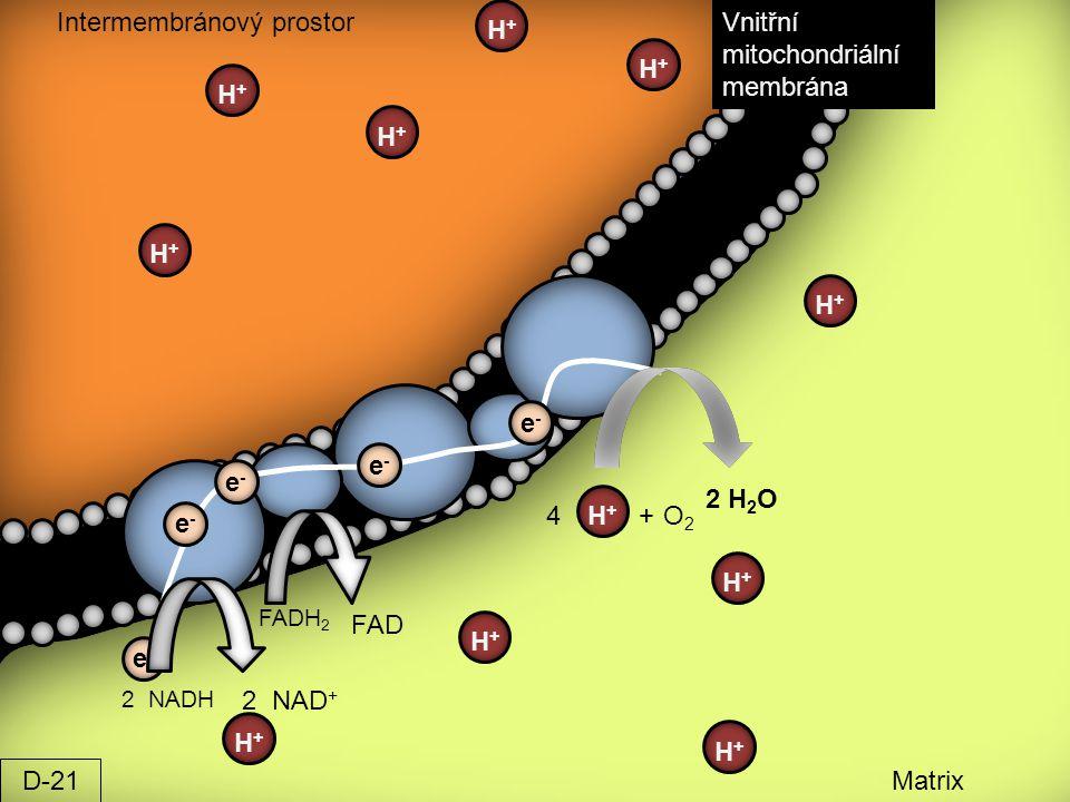 Intermembránový prostor H+ Vnitřní mitochondriální membrána H+ H+