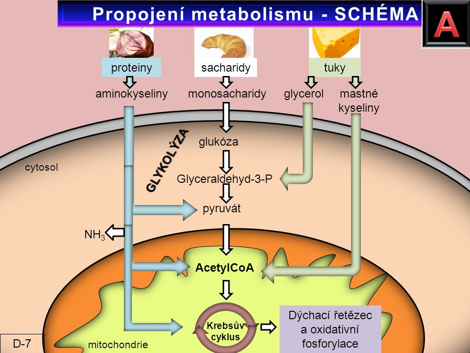 Propojení metabolismu - SCHÉMA