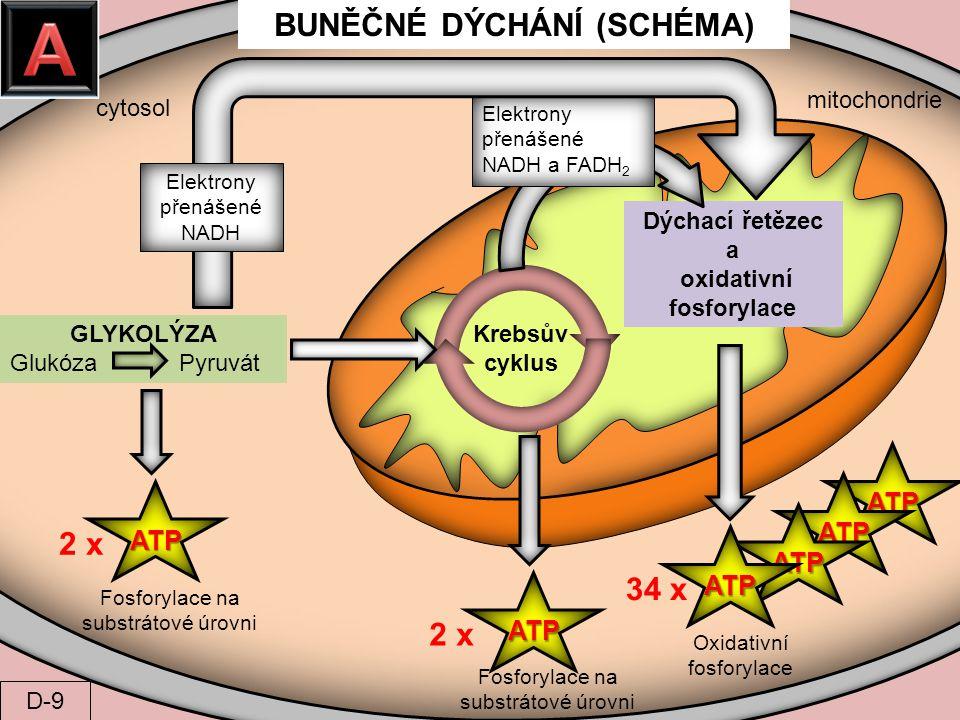 BUNĚČNÉ DÝCHÁNÍ (SCHÉMA) oxidativní fosforylace