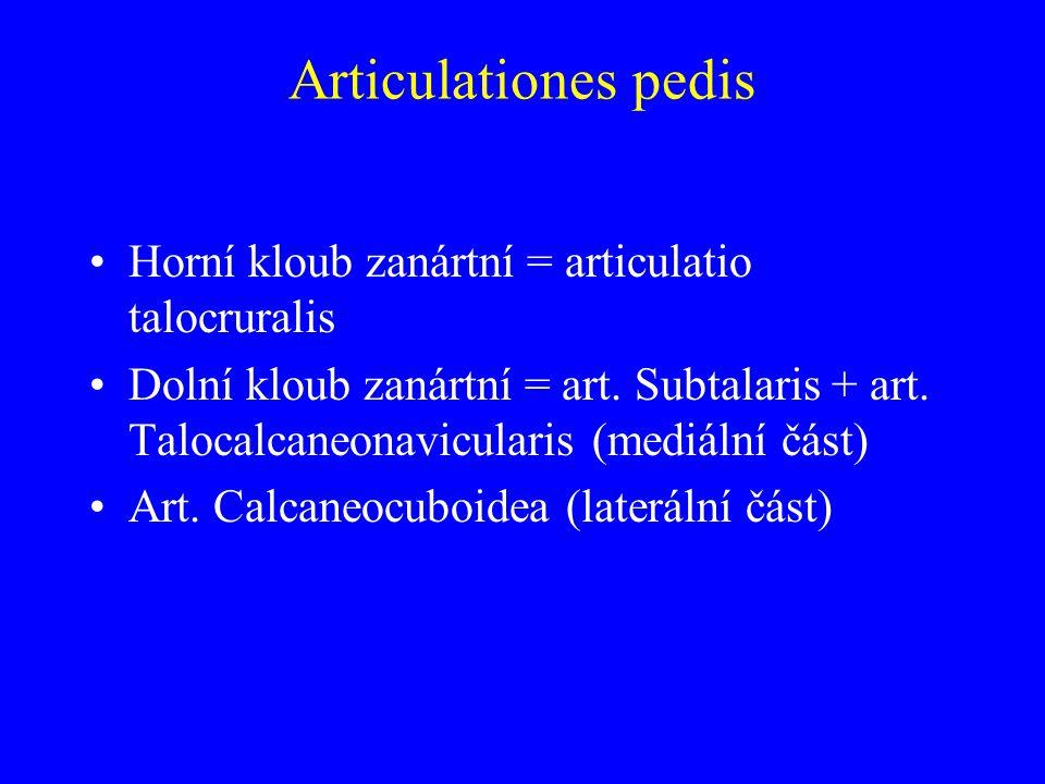 Articulationes pedis Horní kloub zanártní = articulatio talocruralis
