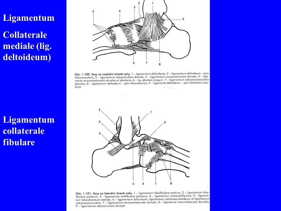 Ligamentum Collaterale mediale (lig. deltoideum) Ligamentum collaterale fibulare