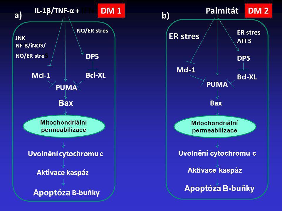 DM 1 Palmitát DM 2 a) b) ER stres IL-1β/TNF-α + IFN-γ DP5 DP5 Bcl-XL