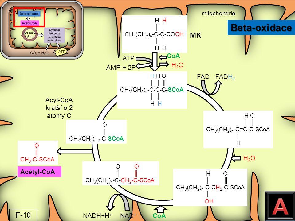 A Beta-oxidace MK F-10 CoA ATP H2O AMP + 2P FAD FADH2 Acyl-CoA