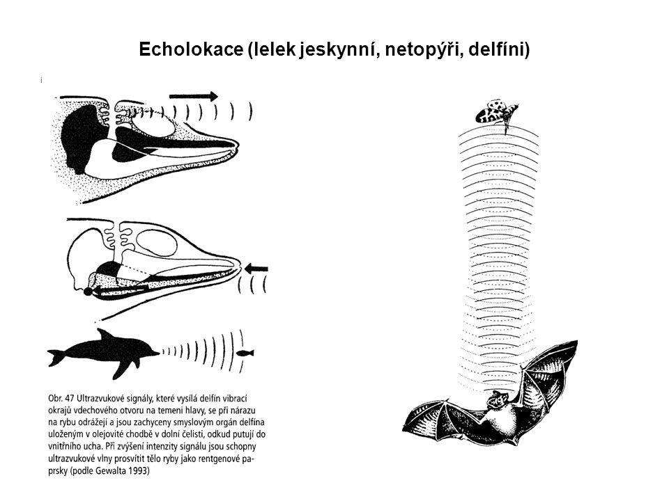 Echolokace (lelek jeskynní, netopýři, delfíni)