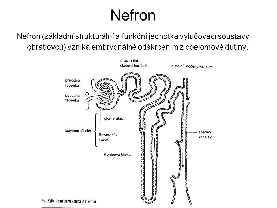 Nefron Nefron (základní strukturální a funkční jednotka vylučovací soustavy obratlovců) vzniká embryonálně odškrcením z coelomové dutiny.