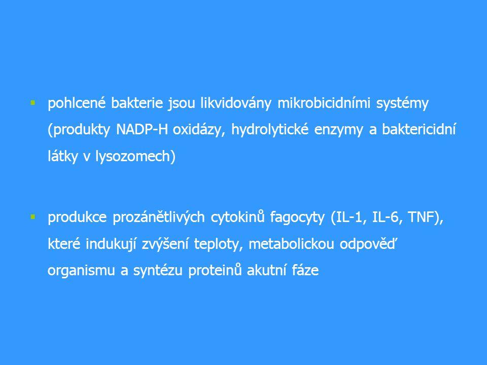 pohlcené bakterie jsou likvidovány mikrobicidními systémy (produkty NADP-H oxidázy, hydrolytické enzymy a baktericidní látky v lysozomech)