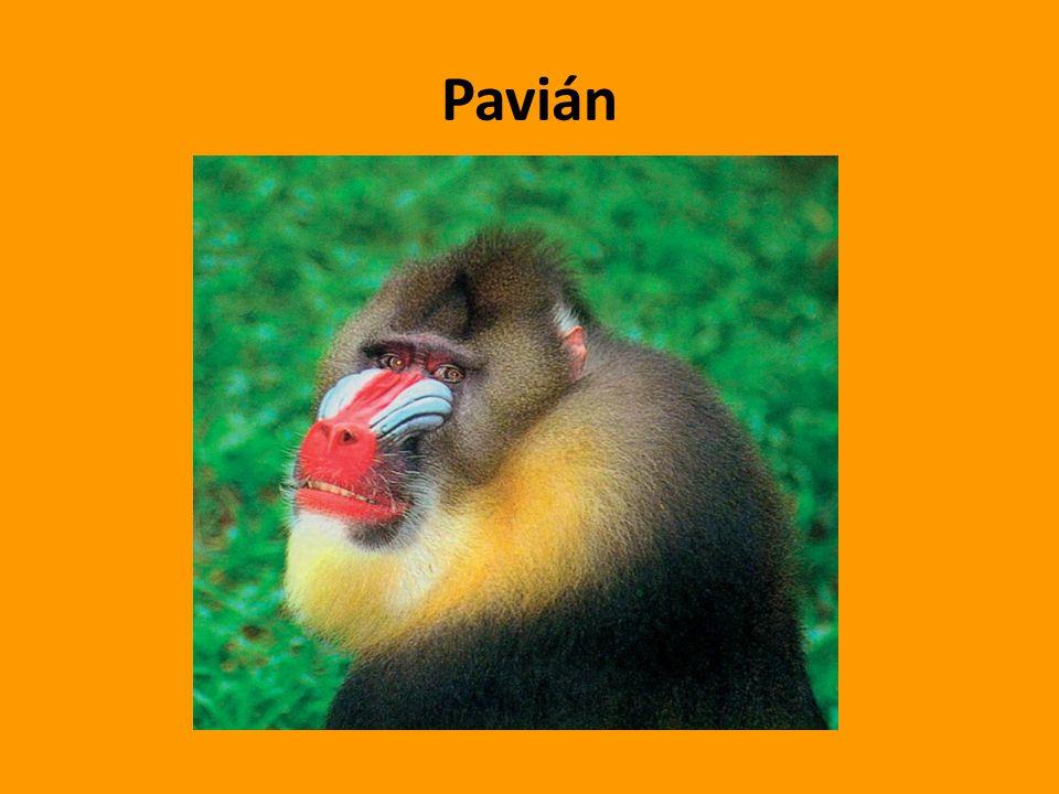 Pavián