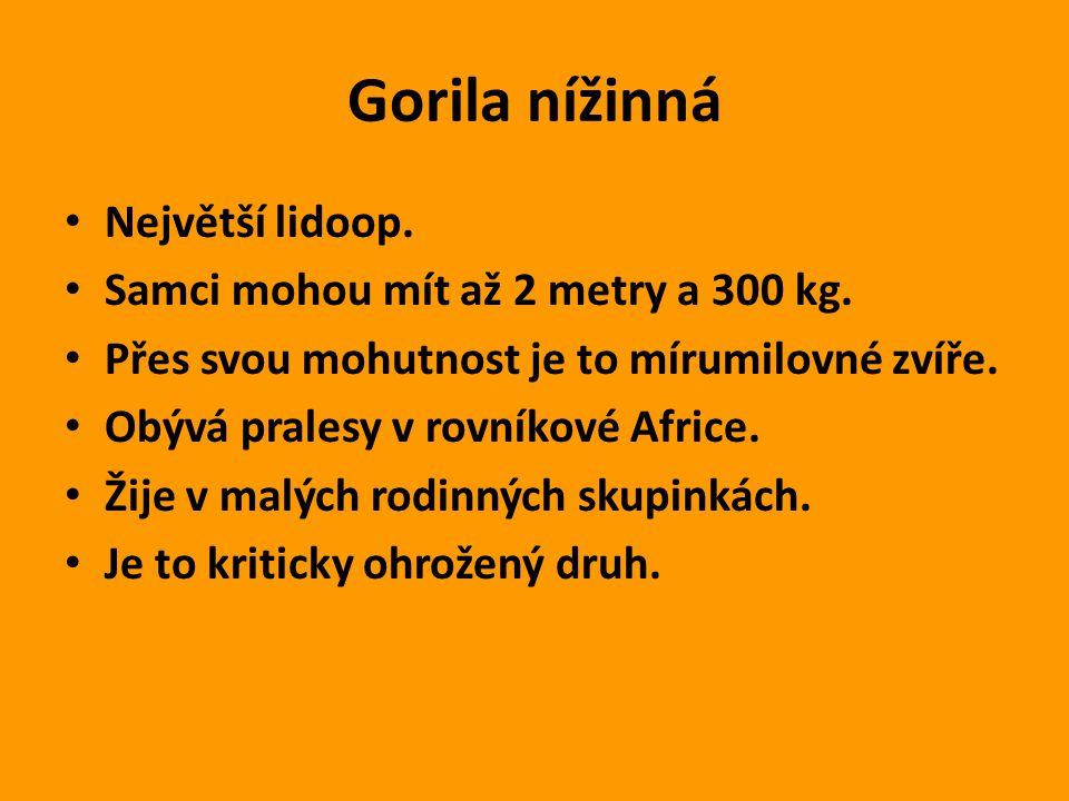 Gorila nížinná Největší lidoop. Samci mohou mít až 2 metry a 300 kg.