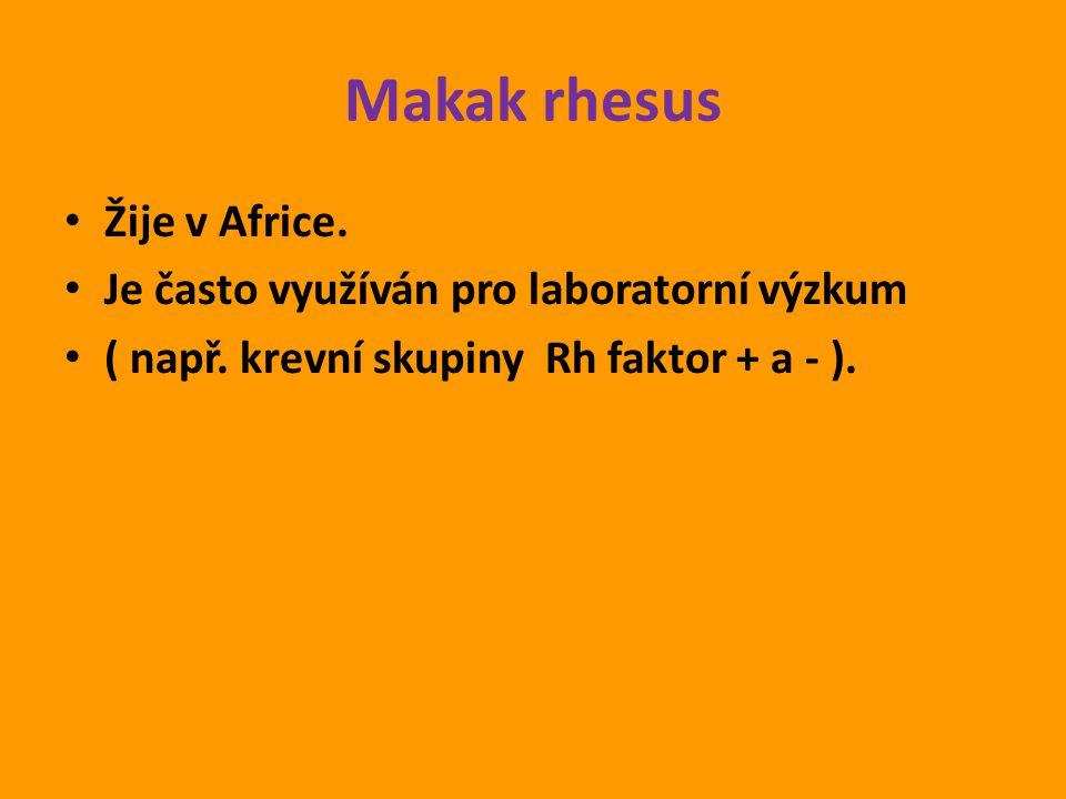 Makak rhesus Žije v Africe. Je často využíván pro laboratorní výzkum