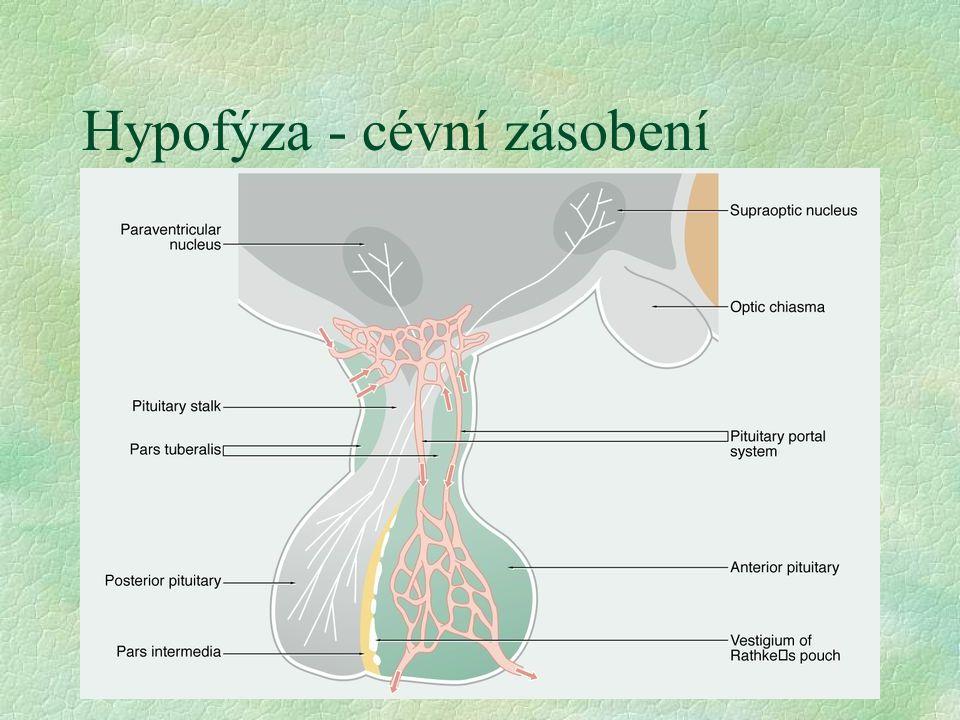 Hypofýza - cévní zásobení