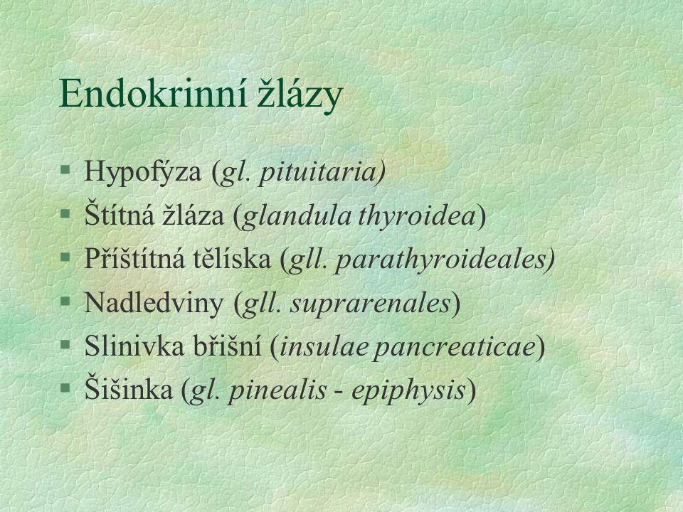 Endokrinní žlázy Hypofýza (gl. pituitaria)