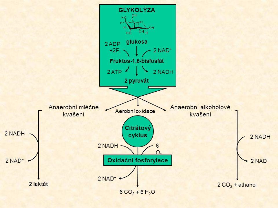 GLYKOLÝZA Citrátový cyklus Oxidační fosforylace