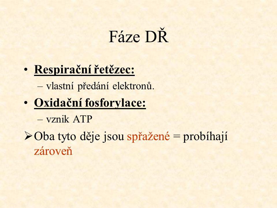 Fáze DŘ Respirační řetězec: Oxidační fosforylace: