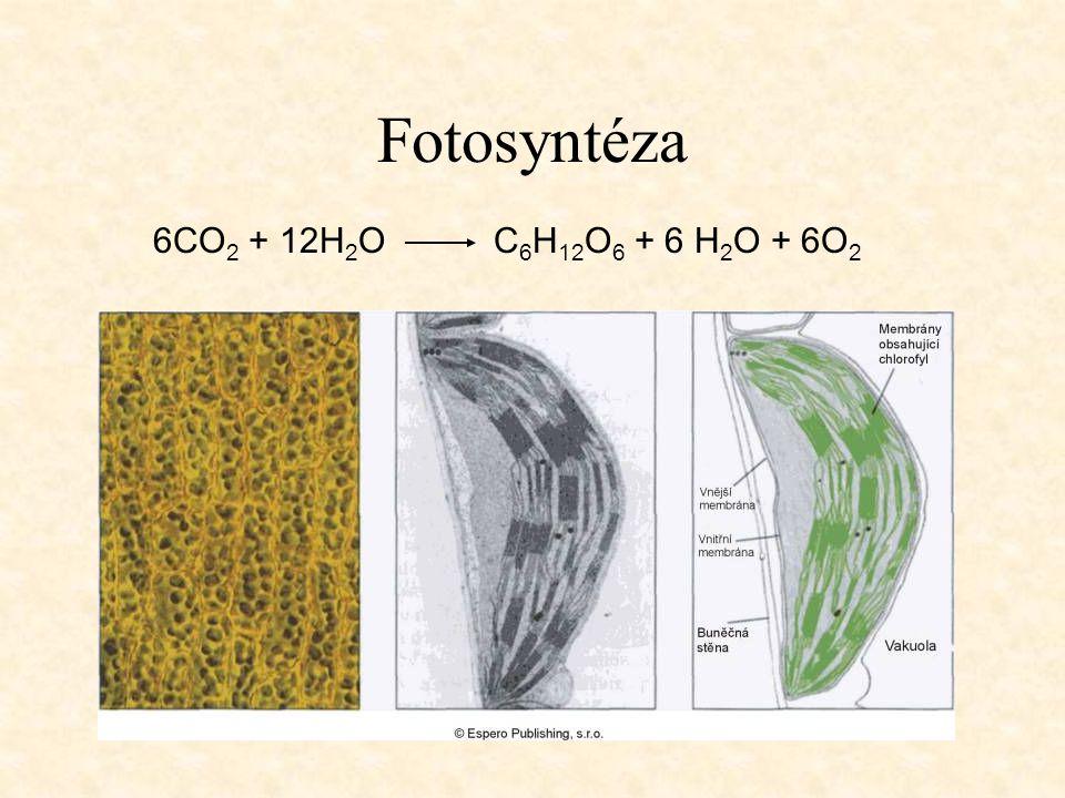 Fotosyntéza 6CO2 + 12H2O C6H12O6 + 6 H2O + 6O2
