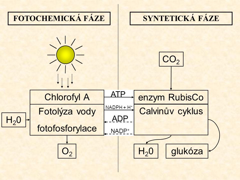CO2 Chlorofyl A enzym RubisCo Fotolýza vody fotofosforylace