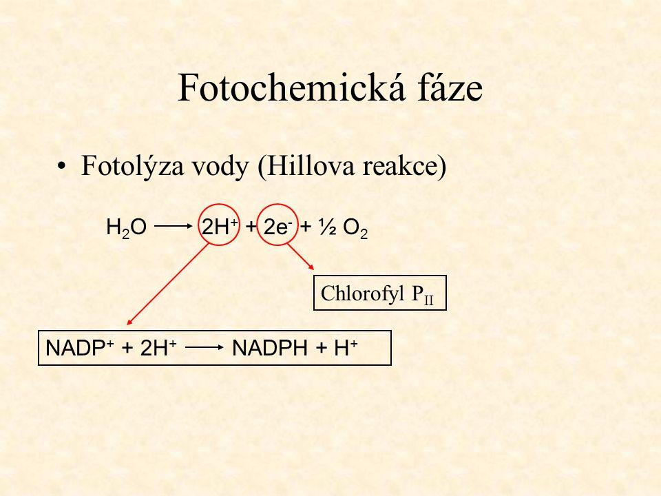 Fotochemická fáze Fotolýza vody (Hillova reakce) H2O 2H+ + 2e- + ½ O2