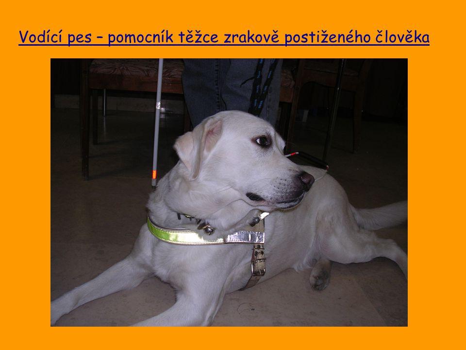 Vodící pes – pomocník těžce zrakově postiženého člověka