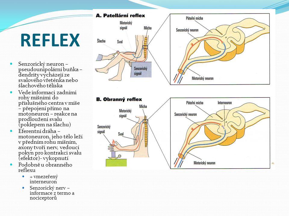 REFLEX Senzorický neuron – pseudounipolární buňka – dendrity vycházejí ze svalového vřeténka nebo šlachového tělíska.